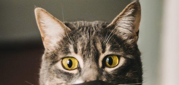 Pourquoi souscrire une assurance pour chat ?